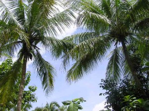 Indo_palm_trees